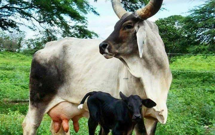 पशुपालन गाय और बेल